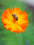 Orange poppy flower with a bee Royalty Free Stock Photo