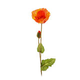 Orange poppy flower Royalty Free Stock Photo