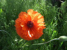 Orange poppy flower Stock Images