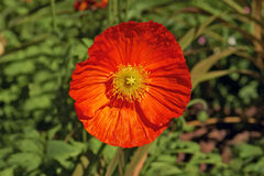 Orange poppy flower Royalty Free Stock Image