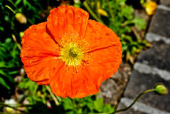 Orange Poppy Royalty Free Stock Photo