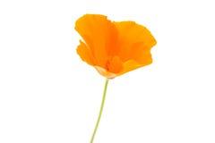 orange poppy flower Stock Image