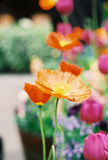 Orange poppy flowers. Orange / pink california poppies poppy flowers stock image