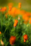 Orange poppy flowers Royalty Free Stock Images