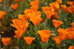Orange poppy flowers Stock Photos
