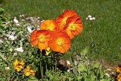 Orange poppy flowers Stock Images