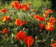 Orange poppy flowers in sunlight Royalty Free Stock Images