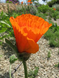 Orange poppy. Fresh blossom of orange poppy Royalty Free Stock Photos