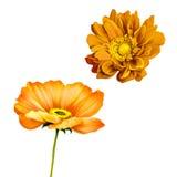Orange poppy, mona lisa flower Stock Images