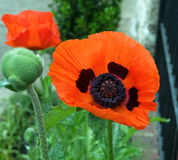 Orange Poppy Stock Photography