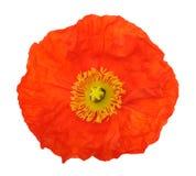 Orange poppy Royalty Free Stock Photos