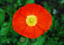 Orange Poppy, Yellow Stamens. An orange poppy displays an almost architectural interior of yellow stamens and crinkly petals. Two poppy buds add a counterpoint Royalty Free Stock Photography