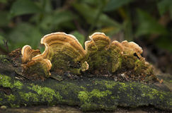 Orange Pore Bracket Fungi Stock Photos