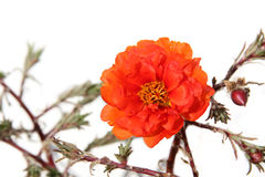 Orange portulaca Royalty Free Stock Photos