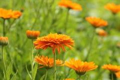 Orange pot marigold bloosom - Calendula officinalis field.  Royalty Free Stock Images