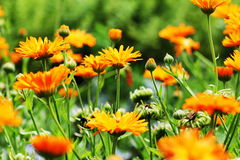 Orange pot marigold bloosom - Calendula officinalis field . Orange pot marigold blooming - Calendula officinalis field Stock Photo