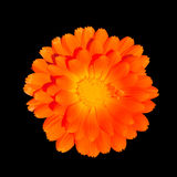 Orange Pot Marigold - Calendula officinalis Stock Images