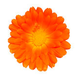 Orange Pot Marigold - Calendula officinalis Stock Image