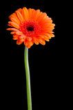 Orange pot marigold (calendula officinalis) Royalty Free Stock Photography