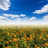 Orange pot marigold (Calendula officinalis) Royalty Free Stock Image