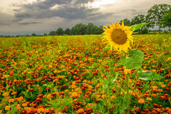 Orange pot marigold (Calendula officinalis) field. In summer Royalty Free Stock Photography