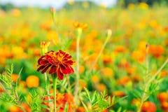 Orange pot marigold (Calendula officinalis) field and sunflower Stock Images
