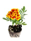 Orange pot marigold Royalty Free Stock Images