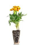 Orange pot marigold Stock Image