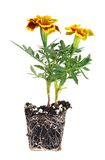 Orange pot marigold Royalty Free Stock Photography
