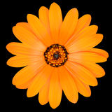 Orange Pot Marigold Flower in Full Bloom Isolated Stock Photo