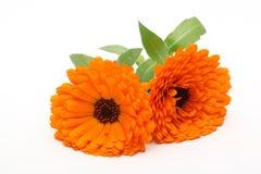 Orange Pot Marigold Flower. Isolated on White Stock Images