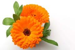 Orange Pot Marigold Flower. On White Background Royalty Free Stock Photography
