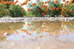 Orange prästkrageblommor reflekterade i skovel royaltyfria foton