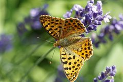 An orange pretty butterfly, Argynnis paphia, sitting on lavender blossoms. Daylight, macro photography royalty free stock photography