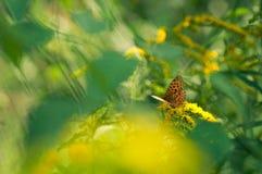 Orange prickig fjäril Arkivfoton