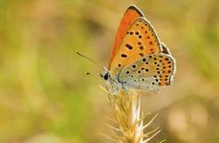 orange prickiga vingar för fjäril arkivfoton