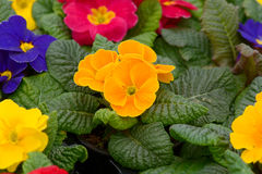 Orange Primrose flowers Royalty Free Stock Photography