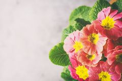 Orange primrose Primula vulgaris hybrid potted spring flower. Macro. Copy space. Royalty Free Stock Photo