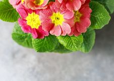 Orange primrose Primula vulgaris hybrid potted spring flower. Macro. Copy space. Stock Photos