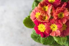 Orange primrose Primula vulgaris hybrid potted spring flower. Macro. Copy space. Stock Photography