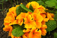 Orange primula flowers Stock Photography