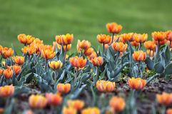 'Orange Princess' tulip Stock Photos