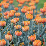 'Orange Princess' tulip Royalty Free Stock Image