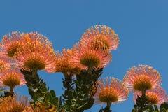 Orange protea flowers Royalty Free Stock Photos