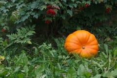 Orange pumkin in green garden. With red berries Stock Images