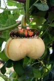 Orange pumpkin. Orange and white pumpkin in the garden Stock Image