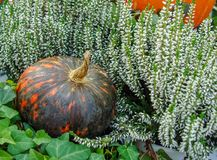 Orange pumpkin with black stripes among flowers and greens stock photos