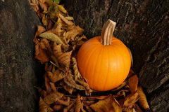 Orange pumpkin in dry autumn leaves against a tree trunk Royalty Free Stock Photo