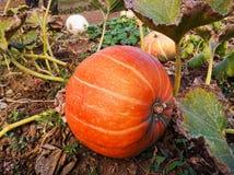 Orange pumpkin in the garden. Huge orange pumpkin in the garden Stock Images