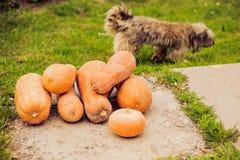orange pumpkin on the green grass Stock Photography